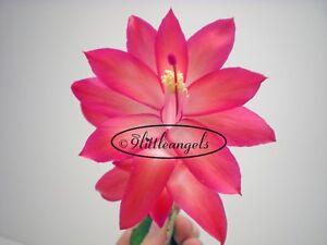039-BELLA-ROSE-039-Starter-CHRISTMAS-CACTUS-Schlumbergera-Big-FULL-PLANT-Very-Healthy