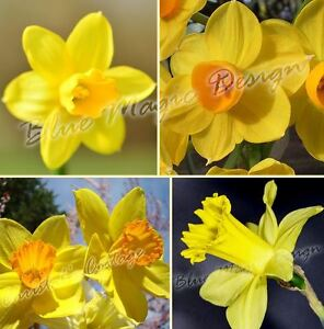 1 20kg Mix 4 Varietes Jaune Orange Jonquille Jardin Narcisse