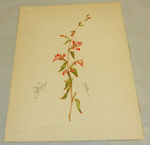 1901 Antique COLOR Prang Print/CLARKIA ELEGANS/Elegant Clarkia Flower
