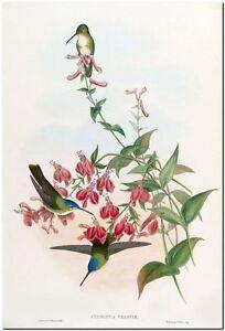 "Vintage Hummingbird *FRAMED* John Gould CANVAS PRINT~ Cyanomya Franciae 18x12"""