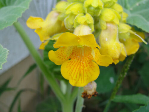 Yellow Devil/'s Claw Ibicella Lutea 10-50 fresh seeds