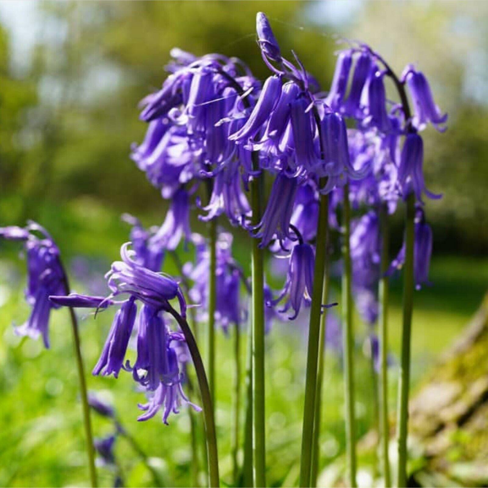 100 ENGLISH BLUEBELL BULBS Hyacinthoides Non Scripta IN THE GREEN