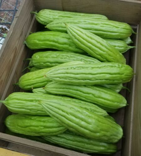All seeds harvested in 2020. 15pcs Bitter Melon Bitter Gourd Ampalaya seeds