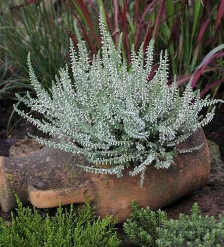 10x SCOPA Heide VELVET Fascination-Calluna vulgaris