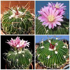 10 semi di Echinofossulocactus multicostatus ,piante grasse,seeds cactus