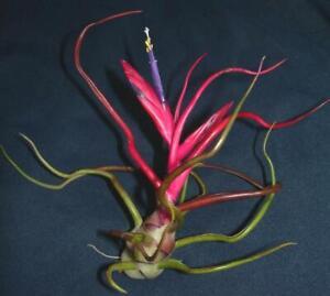 Bromeliad-Tillandsia-bulbosa-x-10-clumps