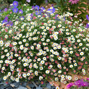 Am-KQ-Ground-cover-Chrysanthemum-Seeds-Perennial-Daisy-Flower-Seeds-Mix-Color