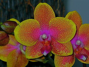 orchidee 5 triebe