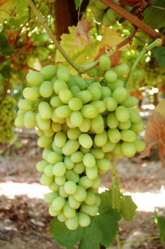 2 Year Organic Grown 1 THOMPSON Seedless Grape Plant Great Time to Plant
