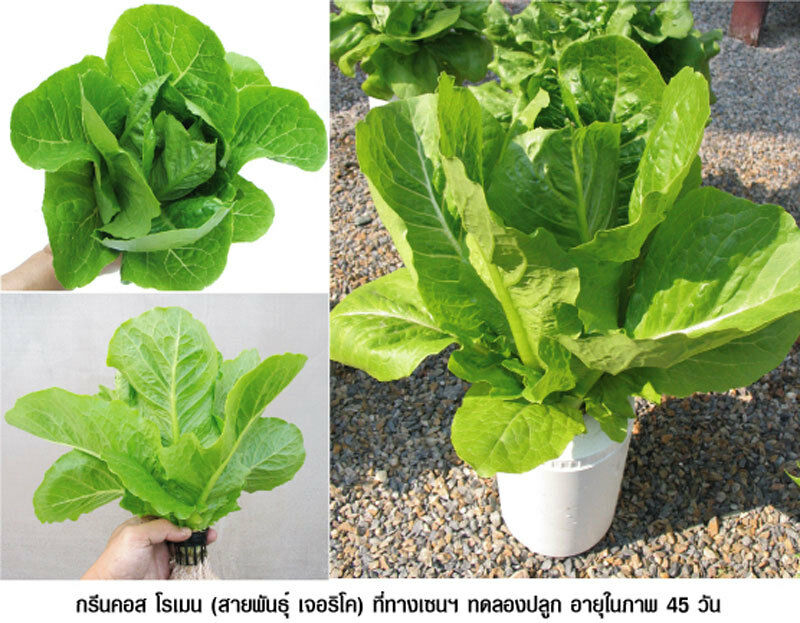 Green Cos Lettuces HYDROPONIC SEEDS Organic Vegetable Seeds 200pcs Green Cos Lettuces Seeds
