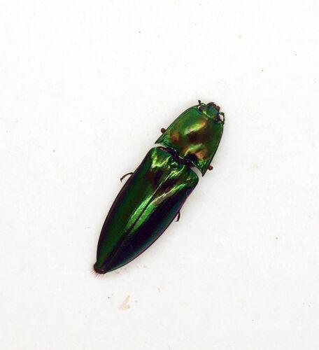 Sabah Beetle -Elateridae Click Beetles CS01 Trus Madi - Campostermus sp