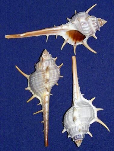 "Murex Turnispina Pecten Seashells 2/""-3/"" Craft Shells Supply~Select 3//6//12 Pcs."