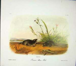 Original-Old-Antique-Print-Shrew-Mole-Rodant-Quadruped-Audubon-Color