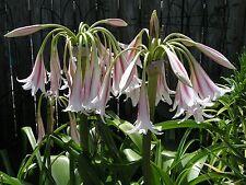 Crinum Lily, Herbertii 'Cairo', Jumbo, blooming-size bulb