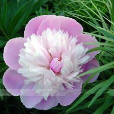Pink and White Japanese Peony Flower Seeds, 5 pcs, Rare 'Smith Lady' Tree plant