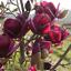 10Pcs-Yulan-Magnolia-Flower-Tree-Seeds-Rare-2-Kinds-Perennial-Garden-Yard thumbnail 2
