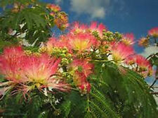 200+ Mimosa Tree Seeds, Brilliant Red Blooms, Vibrant Fern-like Green Foliage