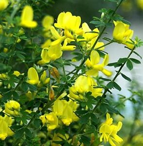 Dwarf genista yellow broom cytisus racmosus nana flowers plant in image is loading dwarf genista yellow broom cytisus racmosus nana flowers mightylinksfo