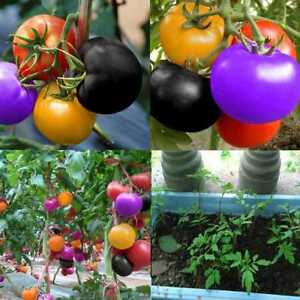 100-stk-Regenbogen-Tomate-Samen-bunte-Bonsai-Bio-Gemuese-Samen-Garten-P8V1