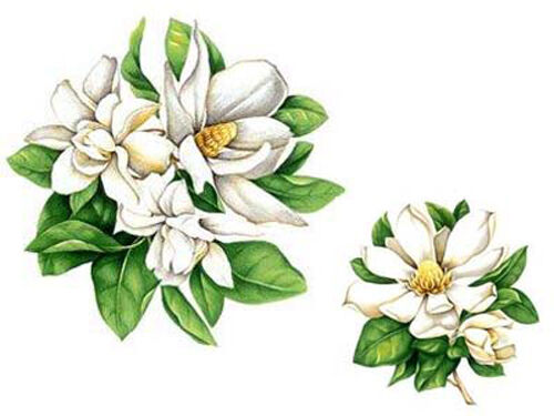 VinTaGe IMaGe WoNDeRFuL WHiTe MaGNoLiaS ShaBby WaTerSLiDe DeCALs