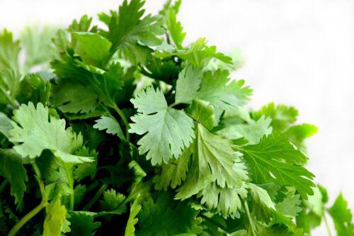Coriandrum CORIANDRE Cultivée 50 graines Aromatiques