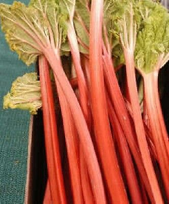 25 VICTORIA RHUBARB Pieplant Fruit Vegetable Seeds + Gift & Comb S/H