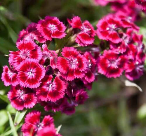 seeds Clavel del Poeta 300 semillas Dianthus barbatus