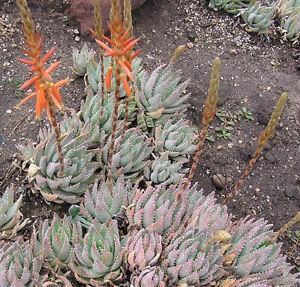 Dwarf-Dune-Aloe-Aloe-brevifolia-Fresh-Seeds