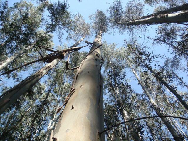 Eucalyptus nitens COLD HARDY Seeds!