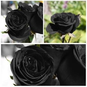 Rare-Black-Rose-Blumensamen-Gartenpflanze-Fuer-Dekor-Home-Office-200Pcs-Set-2018