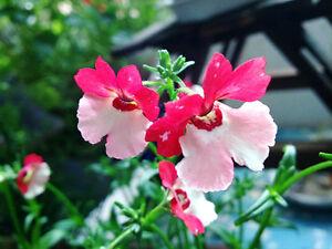 Pouch-Nemesia-Seeds-30-Seeds-Nemesia-Strumosa-Beautiful-Flower-Garden-Seeds-A164