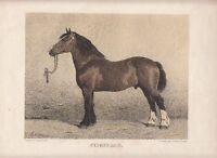 CLYDESDALE Pferd Horse Lithographie Emil Volkers um 1880 Art Print Etching Druck