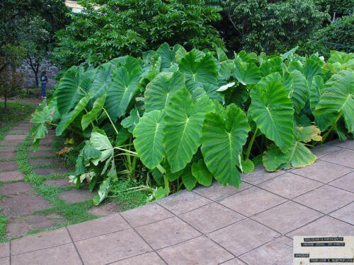 1  Colocasia Esculenta Elephant ear .Eddo Bulbs Garden Plant tropical  xl size