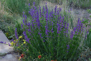 penstemon-PERENNIAL-blue-flower-HUMMINGBIRD-260-seeds-GroCo