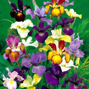 10 X Mix Dutch Iris Bulbs Eye of the Tiger Garden Eye-catching Shapes Flower