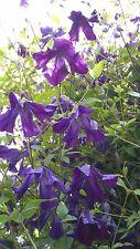 CLEMATIS viticella SP. BELLISSIMA OLD ENGLISH cultivar viola semi di fiori 20
