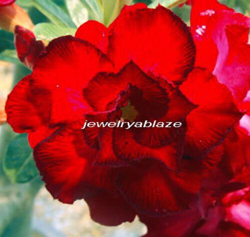 """Adenium Obesum Desret Rose /""""Dangjaruntrap/"""" 100 Seeds !!"""