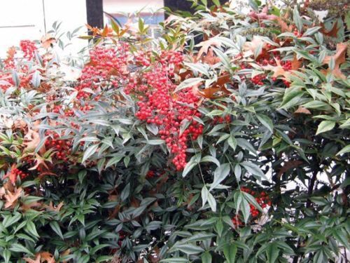 Nandina Domestica /'Heavenly Bamboo/' Easy to grow  20 seeds