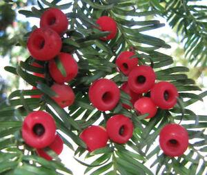 Tejo taxus baccata 25 semillas bonsai rbol de hoja for Ver fotos de arboles de hoja perenne