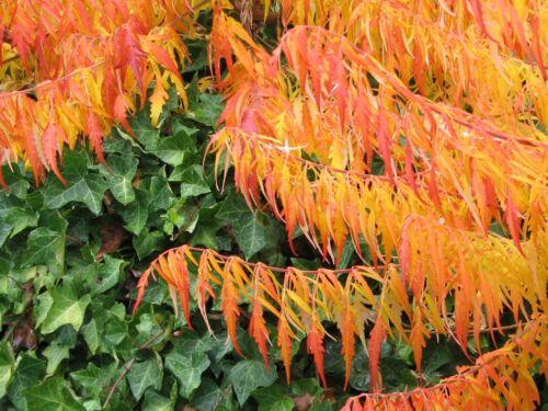 wie rotes Gold glänzt der Essigbaum im spätsommerlichen Garten !