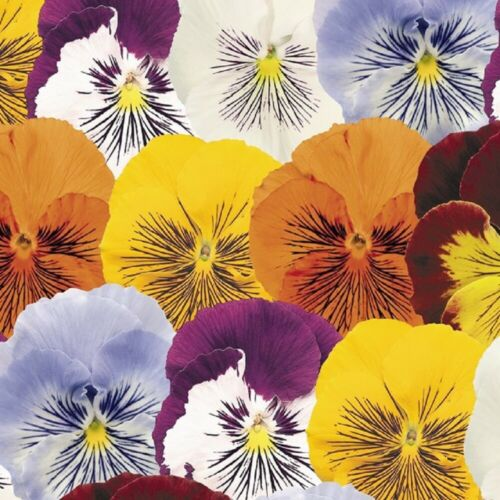 Pansy Cats Mixed 20 Seeds