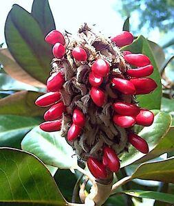 Southern Magnolia Grandiflora Bull Bay Florida Tree Fragrant Plant