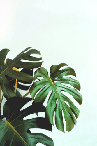 Tropical Leaves Monstera Large A3 Size Quality Canvas Print Ebay Browse our selection of tropical leaves art prints and find the perfect design for you—created by our community of independent artists. details about tropical leaves monstera large a3 size quality canvas print
