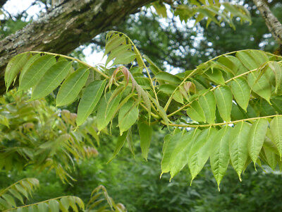 Saatgut Chinesischer Gemüsebaum Chinese mahogany- 5+ Samen Toona sinensis
