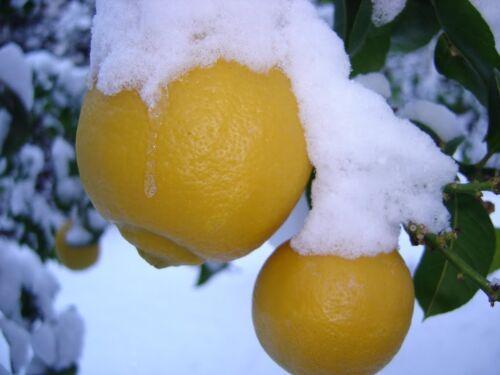 10 fresh seeds ! Rare COLD HARDY Lemon Ichang Lemon Hardy to around 20 F