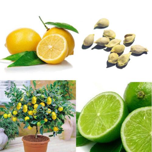 10pcs Zitrone Baum selten innerhalb Frucht Garten Futter Saatgut Pflanzen