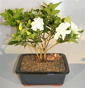 Wonderful Image Is Loading Gardenia Bonsai Tree Multi Trunk Style Flowering Indoor