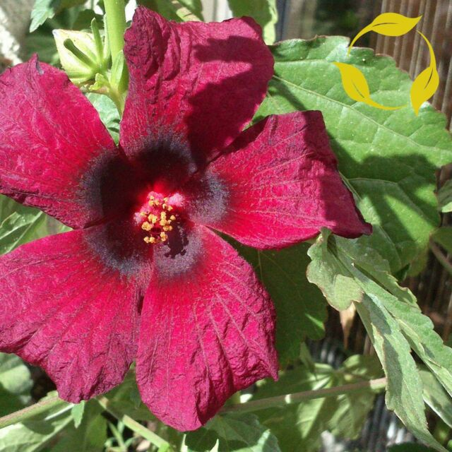 BROWN INDIAN HEMP Hibiscus Cannabinus 5 SEEDS