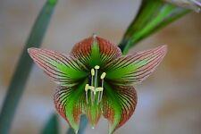 Hippeastrum Rare Species Iguazuanum  6 seeds  clone N1