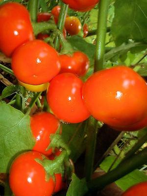 PoroPoro Rarität * Solanum uporo 25 Korn Menschenfressertomate frisch